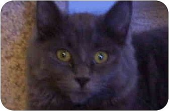 Domestic Mediumhair Cat for adoption in Lake Arrowhead, California - Elizabeth