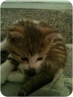 Domestic Shorthair Kitten for adoption in Montreal, Quebec - Norman