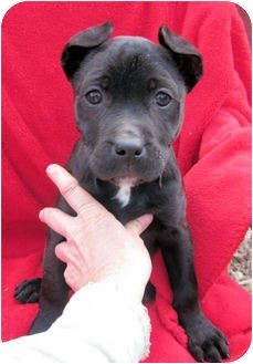 "American Pit Bull Terrier Mix Puppy for adoption in Charleston, Arkansas - Christmas ""Dears"""
