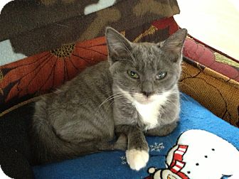 Domestic Mediumhair Kitten for adoption in East Hanover, New Jersey - Hailey