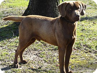 Labrador Retriever Dog for adoption in Humboldt, Tennessee - M&M
