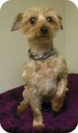 Yorkie, Yorkshire Terrier/Silky Terrier Mix Dog for adoption in Gary, Indiana - Bear