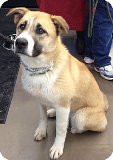 Ginger | Adopted Dog | Rochester/Buffalo, NY | Siberian ...