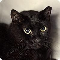 Adopt A Pet :: Pontiac von Meow - Chicago, IL