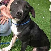 Adopt A Pet :: Shellie - Los Alamitos, CA