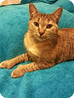 Hemingway/Polydactyl Cat for adoption in Garland, Texas - Gillian
