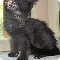 Adopt A Pet :: Kit Kat - Acme, PA