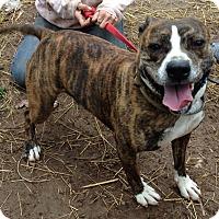 Adopt A Pet :: Chance - Flintstone, MD