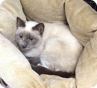 Siamese Cat Adoption Massachusetts