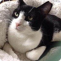 Adopt A Pet :: Lonnie Teen Tuxedo Lovebug - Brooklyn, NY