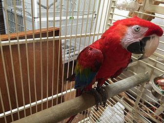 Macaw for adoption in Blairstown, New Jersey - Ruby - ruby macaw