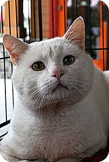 Domestic Shorthair Cat for adoption in Baton Rouge, Louisiana - Yeti