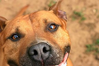 American Staffordshire Terrier Mix Dog for adoption in Tallahassee, Florida - Joffy