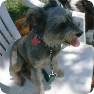 Schnauzer (Miniature) Dog for adoption in Katy, Texas - Valentine