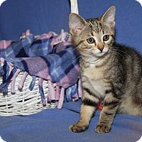 Adopt A Pet :: Oatmeal (Spayed) - Marietta, OH
