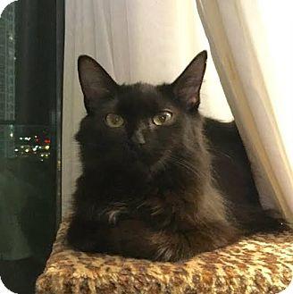 Domestic Mediumhair Cat for adoption in Toronto, Ontario - Gypsy