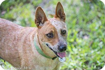 Australian Cattle Dog Dog for adoption in Bradenton, Florida - Ruby