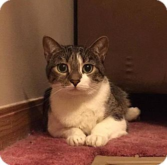 Domestic Shorthair Cat for adoption in Evansville, Indiana - Giselle