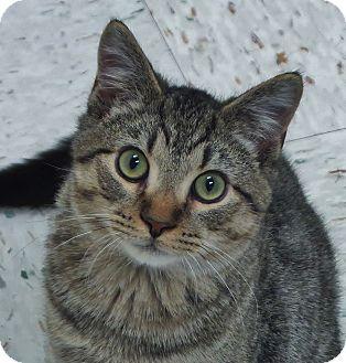 Domestic Shorthair Cat for adoption in Chambersburg, Pennsylvania - Buzz Bee
