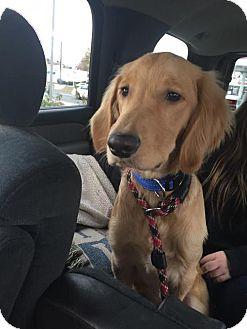Golden Retriever Dog for adoption in Matawan, New Jersey - Peanut