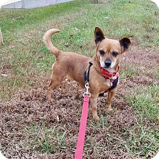 Chihuahua/Dachshund Mix Dog for adoption in Washington, D.C. - Kay (Has Application)
