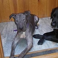 Adopt A Pet :: Vida - Brattleboro, VT