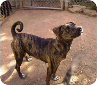 Shar Pei/Boxer Mix Dog for adoption in Phoenix, Arizona - Jasmine