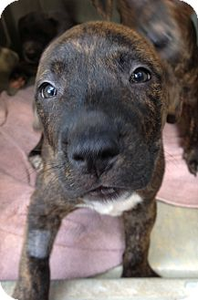 Pit Bull Terrier Mix Puppy for adoption in Gainesville, Florida - Barney