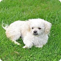 Adopt A Pet :: Mango - Tumwater, WA