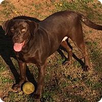 Labrador Retriever Mix Dog for adoption in East Windsor, Connecticut - Sophia-ADOPTION PENDING