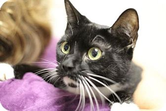 Domestic Shorthair Cat for adoption in Raleigh, North Carolina - Oxley