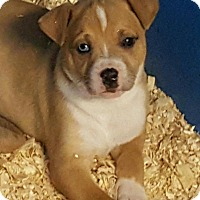 Adopt A Pet :: GRACE LITTER BLUE EYED - Pompton Lakes, NJ