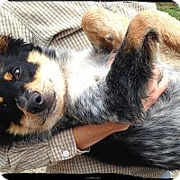 Adopt A Pet :: Bloke - Johnson City, TX