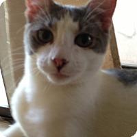 Adopt A Pet :: Adele - Keller, TX