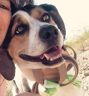 Coonhound Mix Dog for adoption in Scottsdale, Arizona - Corbin