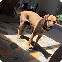 Labrador Retriever/Golden Retriever Mix Dog for adoption in New York, New York - Christy