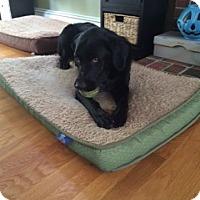 Adopt A Pet :: Koda - Brattleboro, VT