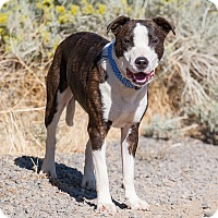 Pit Bull Terrier/Cattle Dog Mix Dog for adoption in Washoe Valley, Nevada - Kash