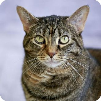 Domestic Shorthair Cat for adoption in Kettering, Ohio - Madison