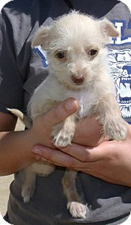 Chihuahua/Terrier (Unknown Type, Small) Mix Puppy for adoption in Corona, California - DAISY