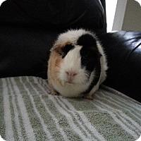 Adopt A Pet :: Macie - Harleysville, PA