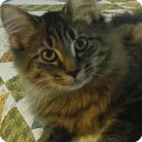 Domestic Longhair Cat for adoption in Warren, Ohio - Meg