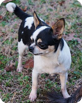Chihuahua Dog for adoption in Overland Park, Kansas - Bernice