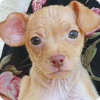 Adopt A Pet :: Frodine - Phoenix, AZ