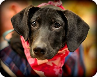 Treeing Walker Coonhound/Labrador Retriever Mix Puppy for adoption in Sparta, New Jersey - Caramel