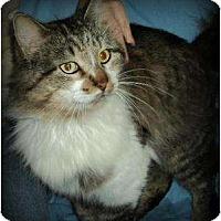 Adopt A Pet :: Baby Face Furson - Tomball, TX