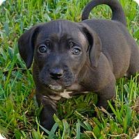 Adopt A Pet :: Louie - La Habra Heights, CA
