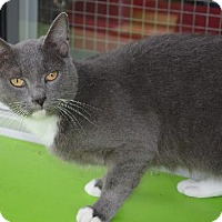 Russian Blue Cat for adoption in New Iberia, Louisiana - Mona