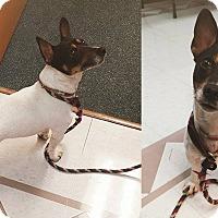 Adopt A Pet :: Jojo - Springfield, IL