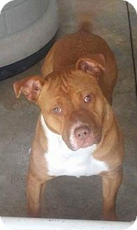 Pit Bull Terrier Dog for adoption in Jamestown, Tennessee - Summer